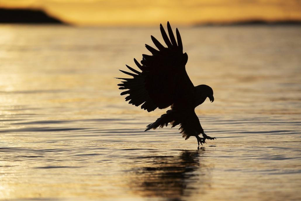 Pygargue à queue blanche / sea eagle