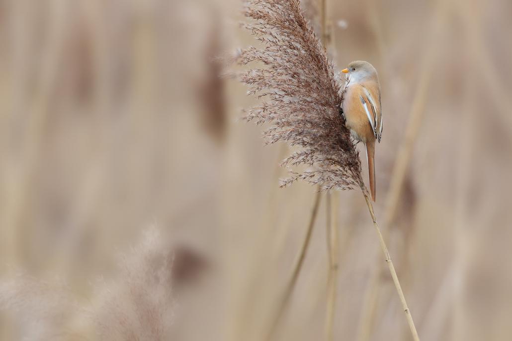 Les panures présentent un plumage différent selon l'âge et le sexe. Les mâles ont tous le bec orange. En plumage nuptial, la tête est gris bleu, avec de larges moustaches noires qui descendent du bec à la gorge. Chez les femelles, le plumage est plus uniformément roux jaunâtre