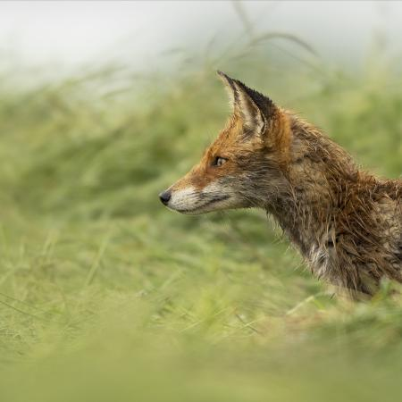 Maître renard en maraude